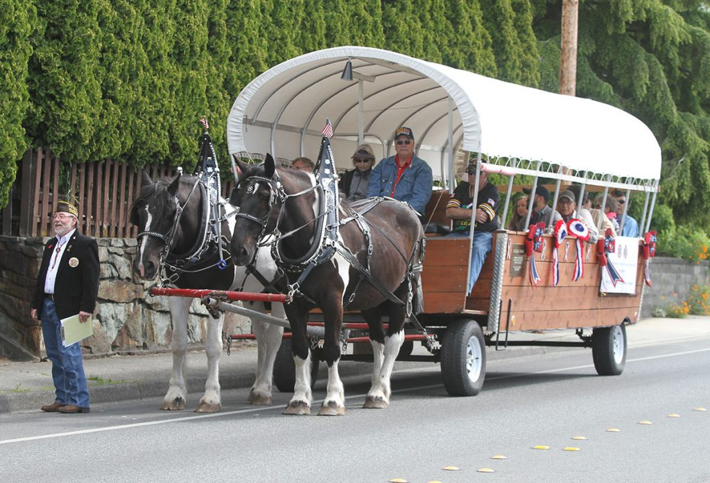 A team of North American Spotted Draft Horses in a parade.